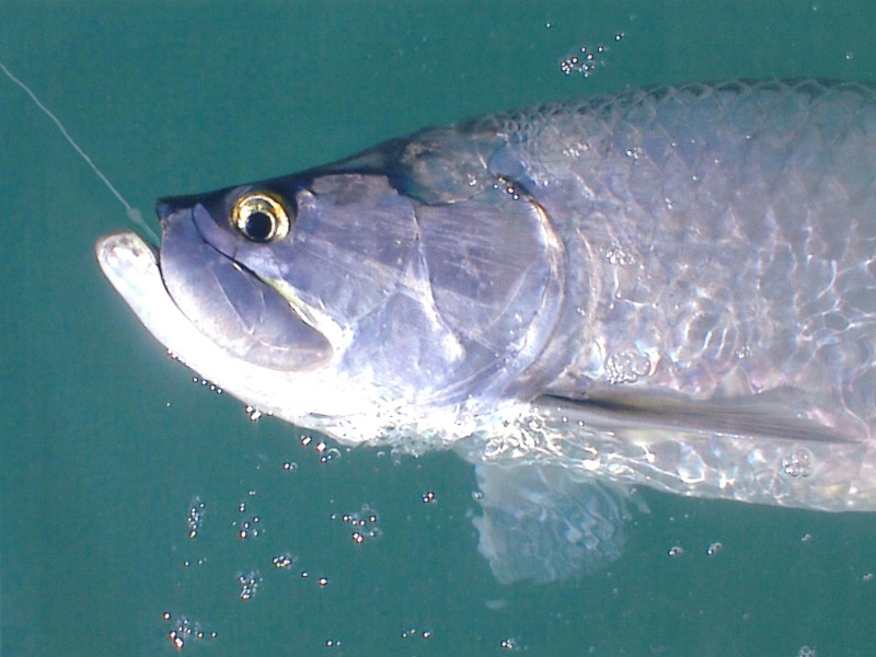big-ft-myers-tarpon-on-a-fly.jpg